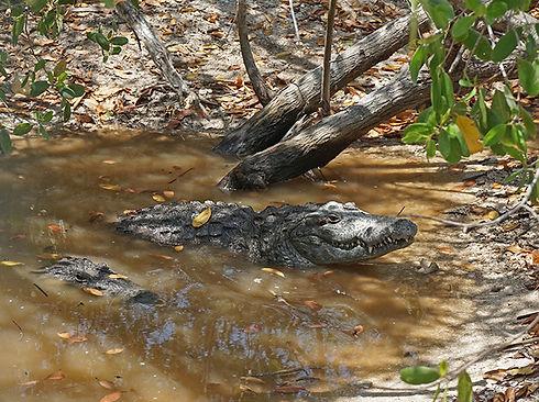 paisaje costero golfo cocodrilo en manglas de isla arena