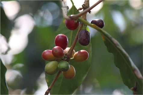 2.6_proyecto_cafe_cacao_ppd_mexico.jpg