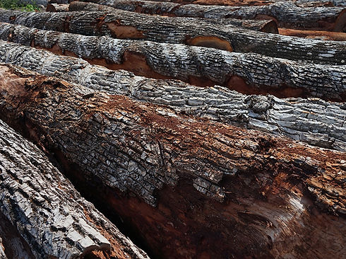 troncos de madera de ejidos forestales en quintana roo