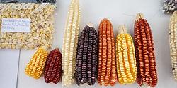 mazorcas de maíz orgánico