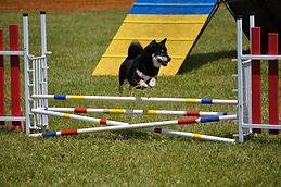 agility_chien-full-12558865.jpg