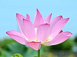 pink-lotus-flower.jpg