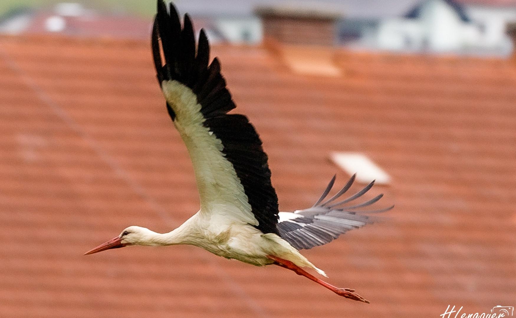 Storch in Freistadt