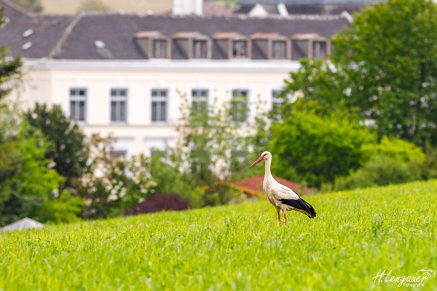 Storch in Freisadt