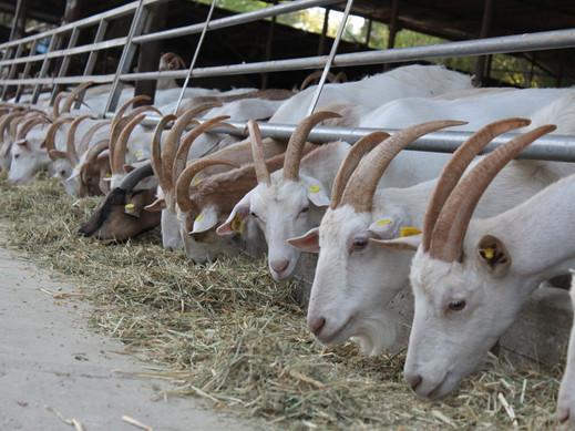 Зааненские козы на ферме в Биньямина