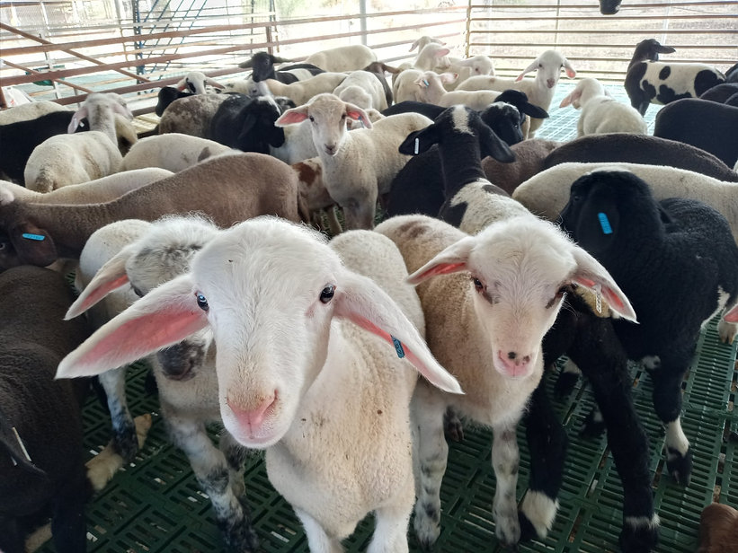 Заненская порода коз
