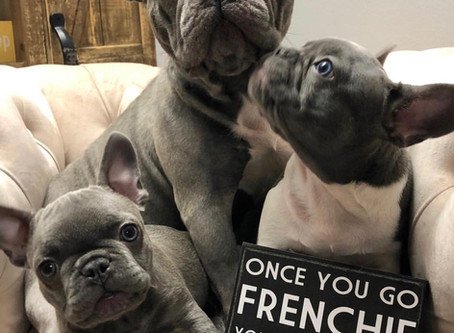 5 Reasons 2: Have a French Bulldog in your life!
