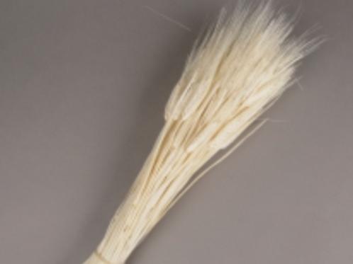 Blé barbu blanchi séché