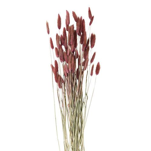 Lagurus séché rose