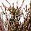 Thumbnail: Bruyère Séchée - Rose Naturel