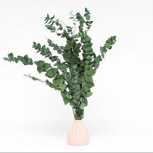 Eucalyptus Stuartiana Séché - Vert