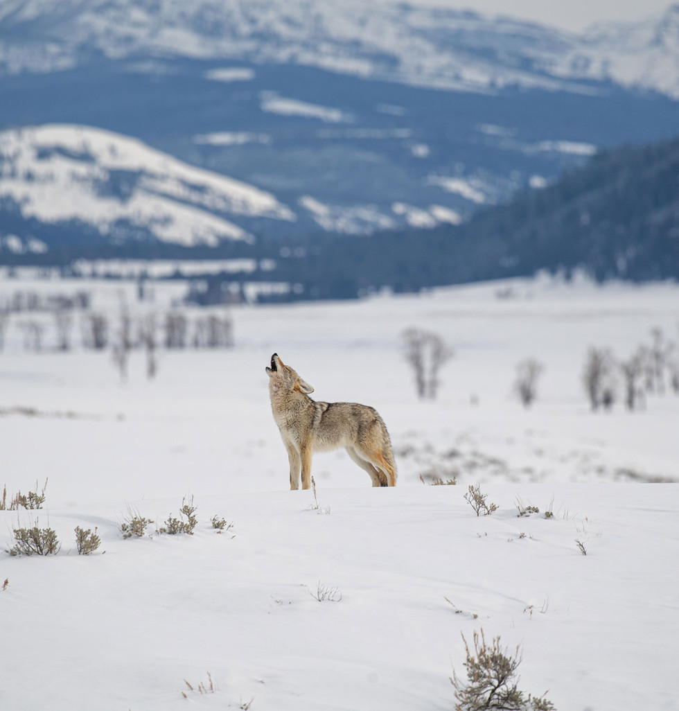 Yellowstone, le paradis blanc