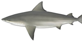 Bull-shark.png