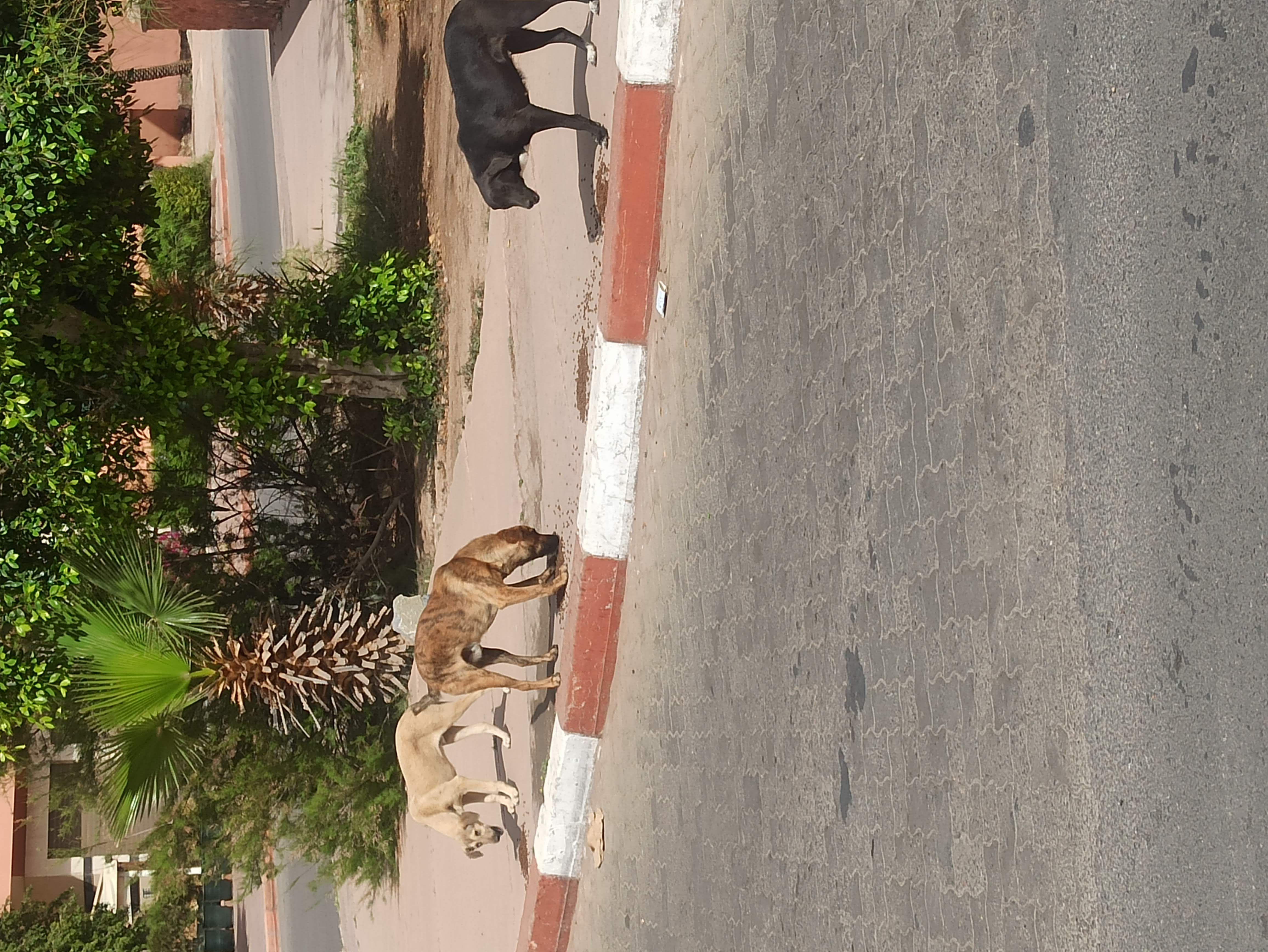 Adoption chien Marrakech
