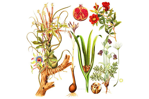 Botanical | pods + pomegranates