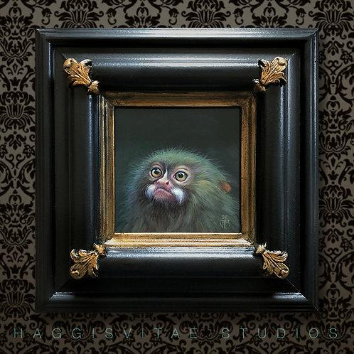 Clarence - a pygmy marmoset