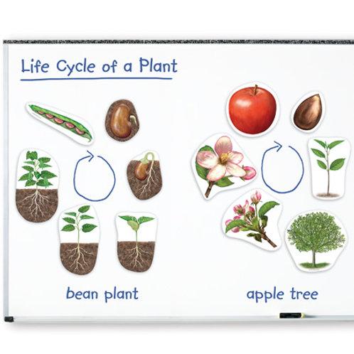 Imanes Gigantes Ciclo Planta