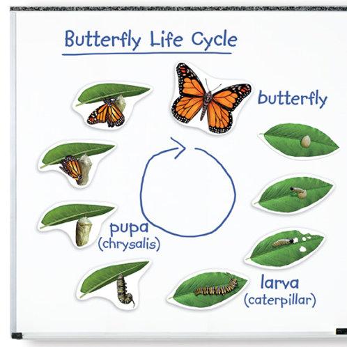Imanes Gigantes Ciclo Mariposa