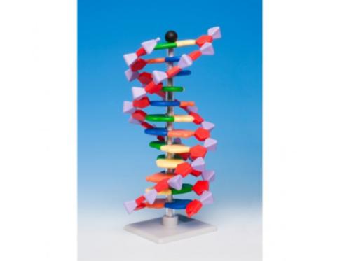 Modelo ADN. Molymod