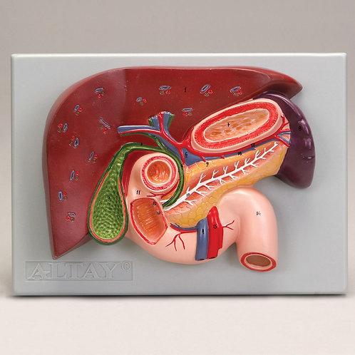 Modelo Hígado, Vesícula Biliar, Páncreas y Duodeno