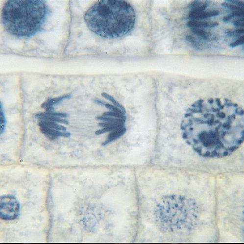 Mitosis. Set de muestras microscopio. 2u