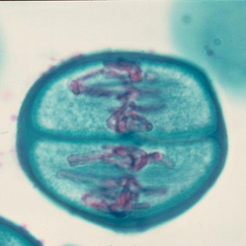 Mitosis y Meiosis. Set muestras microscopio. 13u
