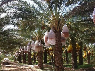 la culture du palmier dattier reconnue patrimoine culturel immatériel de l'Humanité
