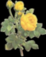 Yellow Roses Illustration