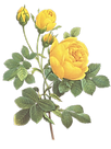 Yellow Roses Illustratie
