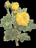 Rosas amarelas Ilustração