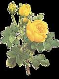 Rosas amarillas Ilustración