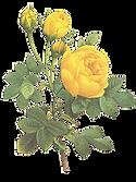 Žluté růže Ilustrace