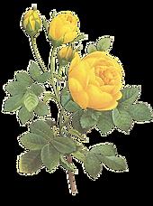 노란 장미 그림