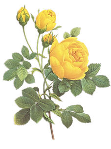 Yellow Roses Illustration