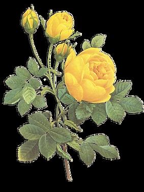 Gelbe Rosen Illustration