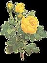 Illustration Roses jaunes