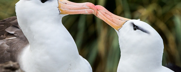Albatross Love