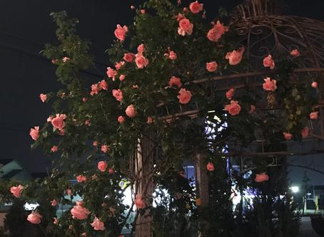 夜空に映える薔薇