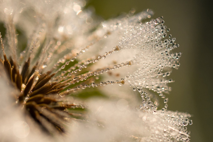 Wassertropfen auf Pusteblume