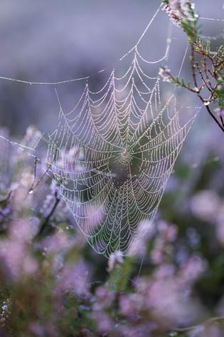 Spinnennetz in der Heide