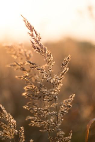 Gras im goldenen Licht