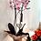 Thumbnail: Orquídea phalaenopsis
