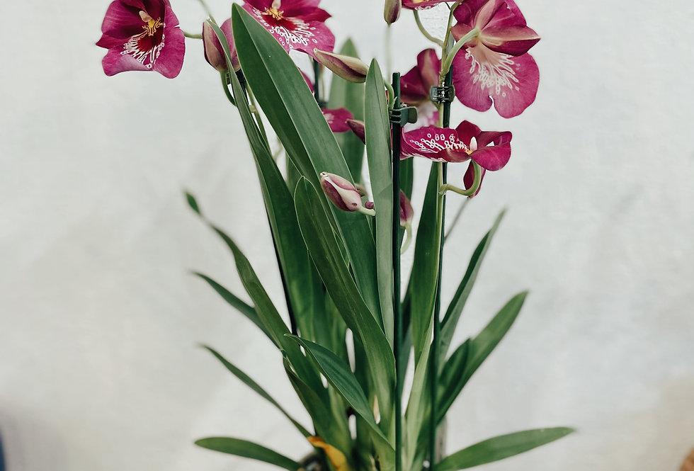 Planta Orquídea miltonía