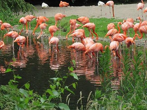 Lün-Walsrode-Vogelpark-Flamingo.JPG