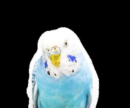 ParakeetKRF1_edited.png
