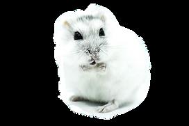 HamsterKRF1_edited_edited.png
