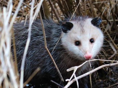 Opossums America's Marsupials
