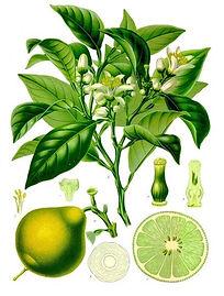 bergamont orange