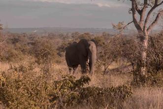 Elefante-Kruger-11-.jpg