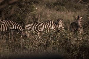 zebras-1-.jpg